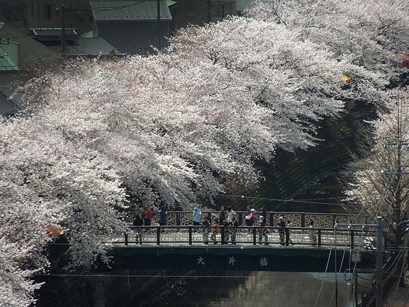 120410大岡川桜1