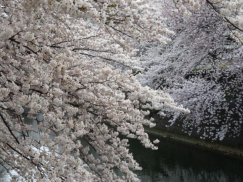 120410大岡川桜7