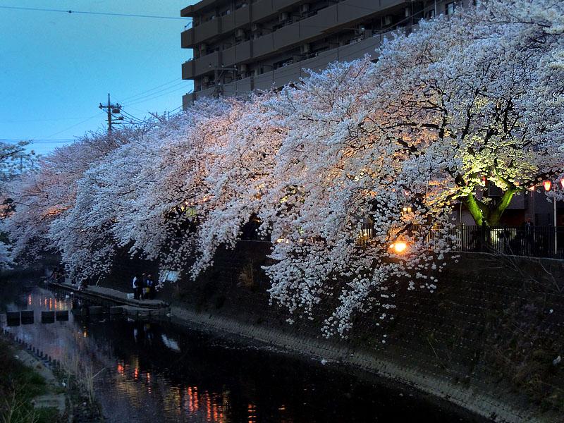 120410大岡川桜13