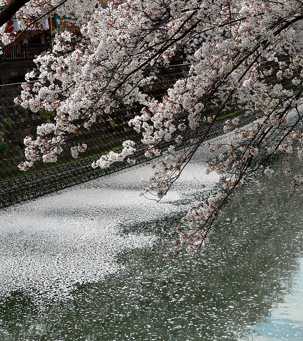 120413大岡川花びらの川3