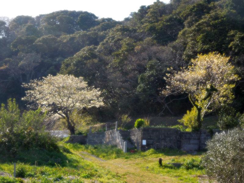 120418今年の桜4