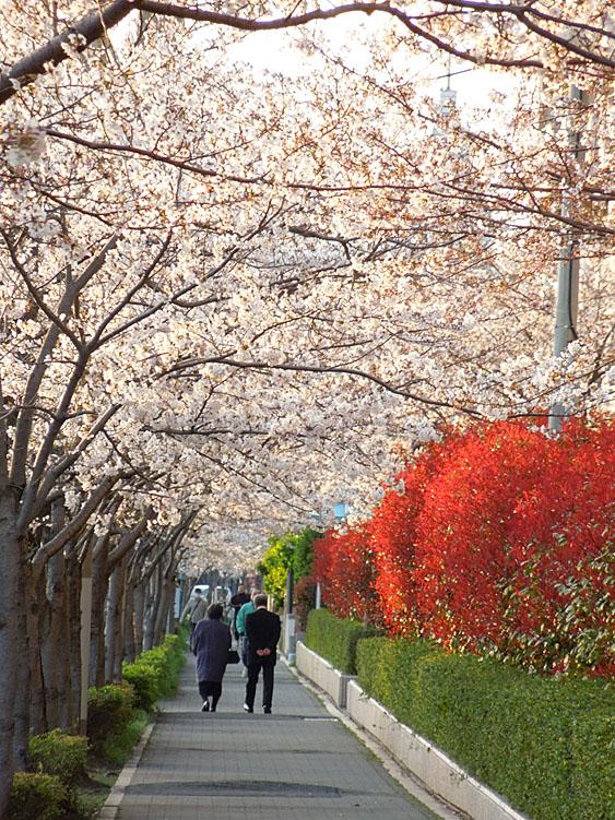 120418今年の桜5