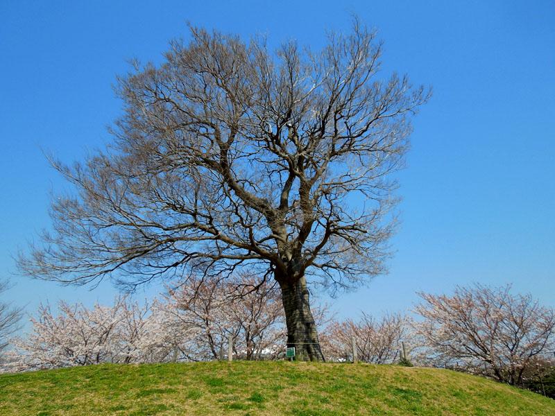 120418今年の桜2
