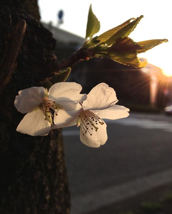 120418今年の桜1