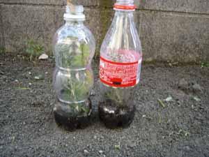 ローズマリー in bottles