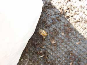 飛べないミツバチ