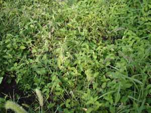 草の中のパセリ