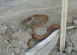 ヘビとカエル01