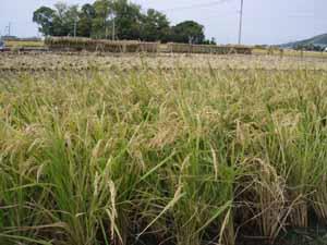 稲刈り01