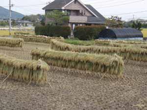 稲刈り07