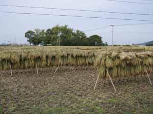 稲刈り08