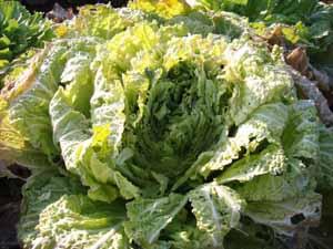 ヒヨドリ白菜