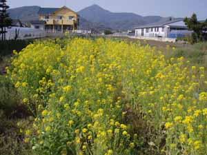 0410菜の花