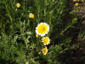 0410春菊の花