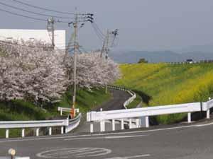 桜と菜の花の競演