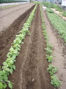 枝豆土寄せ0525