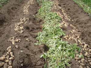ジャガイモ掘りました