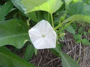 エンサイの花花花