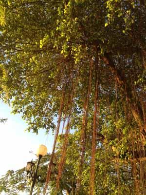 saigonriver-tree
