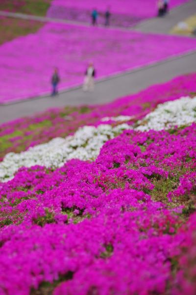 芝桜1_convert_20120422153101