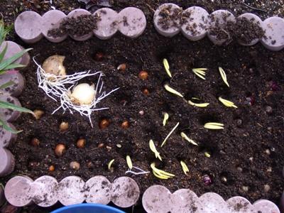 秋植え球根2