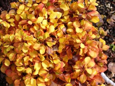 バーベリス紅葉