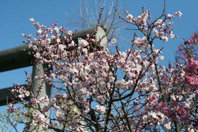 香取神社の梅
