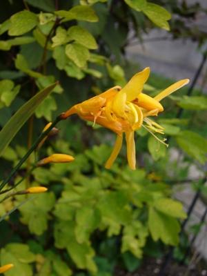 黄花・クロコズミア