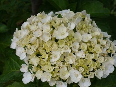 白花・アジサイ