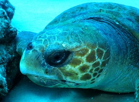 アカウミガメ (60)