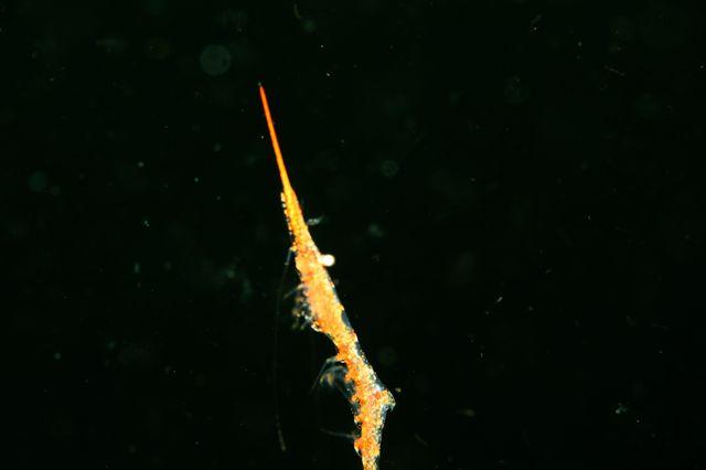 トガリモエビsp(泳ぐ)