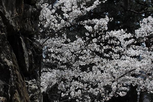 sd15-50-150-3-30-美濃桜-117SDIM2647_R