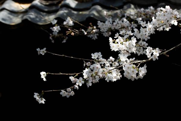 sd15-50-150-3-30-美濃桜-133SDIM2663_R