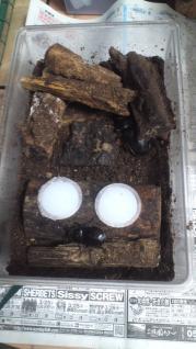 ベンクール産卵セット