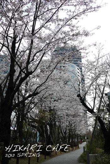 sakura2012sakasu.jpg