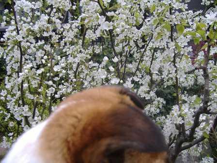 桜を見るランラン1