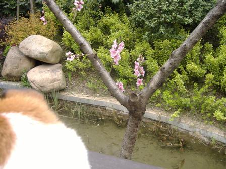 桜を見るランラン2