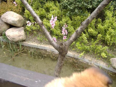 桜を見るランラン3