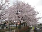 2010年4月桜