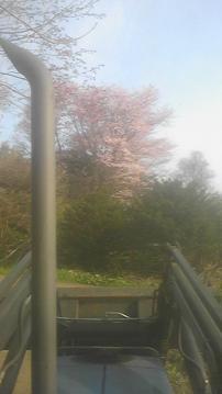 シンボル桜