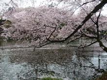 湖面に花びらがきれい