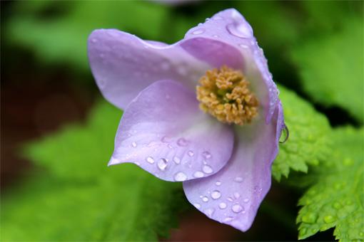 庭の花(シラネアオイ) 220