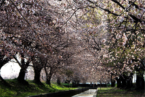 20120421新江の桜 016
