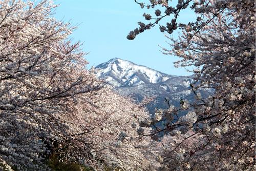 2012新江の桜 079