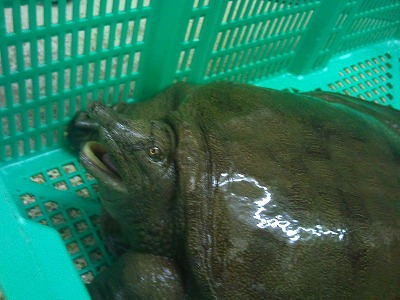 天然すっぽん2011428 (1)