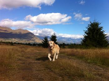 羊の国のラブラドール絵日記シニア!!「身体的特徴」写真2