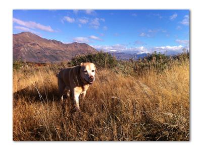 羊の国のラブラドール絵日記シニア!!「犬天国裏?事情」写真3