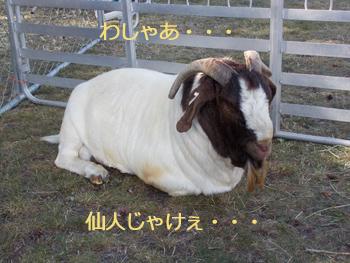 羊の国のラブラドール絵日記シニア!!「稼ぎそこない」写真7