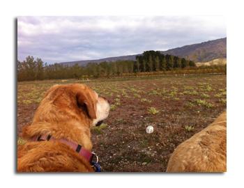 羊の国のラブラドール絵日記シニア!!「実りの秋」写真4