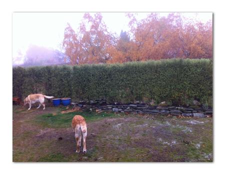 羊の国のラブラドール絵日記シニア!!「冬の入り口に・・・」写真日記1